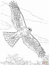 Hawk Coloring Sharp Drawing Colorare Printable Disegni Shinned Disegno Hawks Ausmalbilder Northern Harris Draw Birds Supercoloring Line Zum Bambini Drawings sketch template