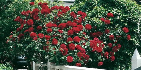 growing roses for beginners caring for roses a beginner s rose growing guide garden design