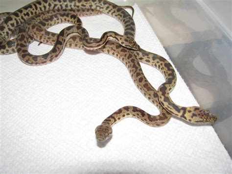 Carpet Ball Python And Python Hybrid. 0 Comments