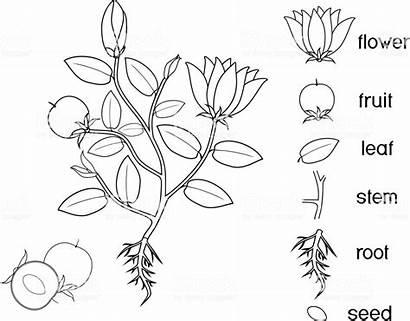 Plant Coloring Parts Root Fruit Flowering Flowers