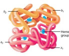 Hemoglobin, comprising four globin chains, each with a heme group. Hemoglobin