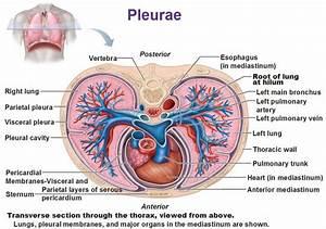 Pleurae  Pleural Cavity  Pericardial Membrane  Root Of