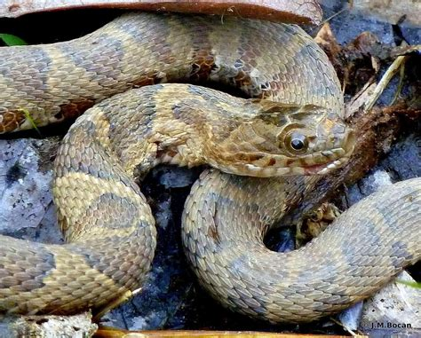 eastern rat snake juvenile photo  eastern rat snake