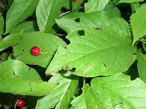 Laubbaum Mit Roten Blättern : kleiner strauch mit roten fr chten lonicera alpigena baumkunde forum ~ Frokenaadalensverden.com Haus und Dekorationen