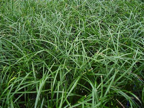 Suppliers Of Mondo Grasses And Liriopes