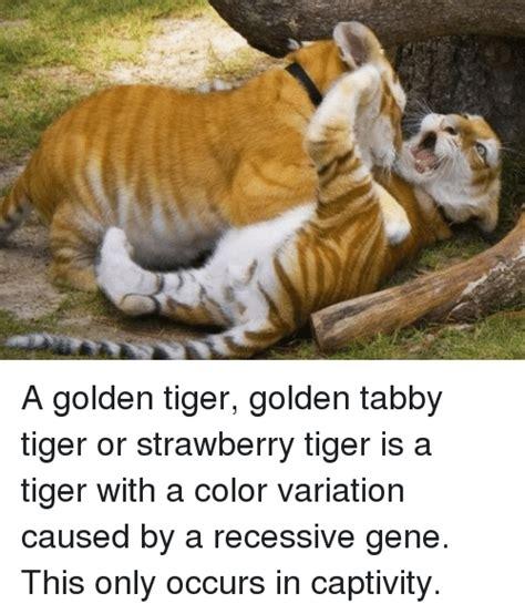 Best Memes About Golden Tigers