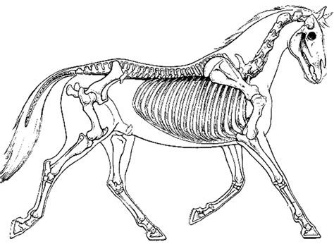 vertebrates skeletons skeleton vertebrate horse bone coloring comparing compare biologycorner anatomy horses worksheets reference licensed sharealike noncommercial attribution license creative