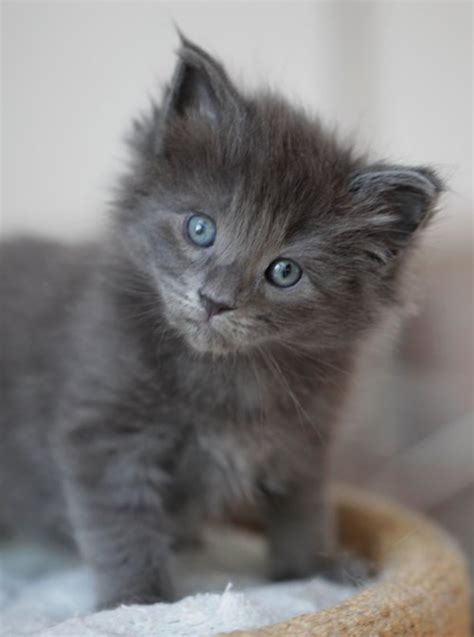 gray cat names grey kitten still in the blue eyed phase i really want a grey kitten to name either lestrade or