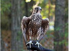 National Bird Of Hungary Saker Falcon 123Countriescom