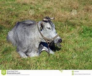 Blaue Kuh Magdeburg : blaue kuh liegend stockfoto bild von wiesen brut ~ Watch28wear.com Haus und Dekorationen