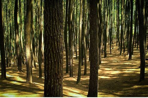 hutan pinus mangunan yogyakarta  romantisme  setiap