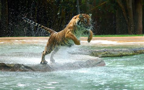 Water Animal Wallpaper - hd tigers wallpapers and photos hd animals wallpapers