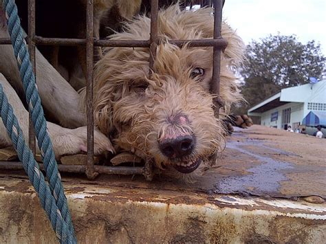dog meat trade thailand esdaw