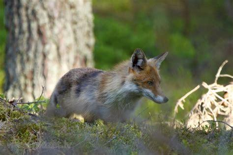 Lapsa - Rudā lapsa (Vulpes vulpes) - redzet.lv