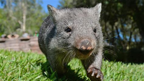 image de wombat