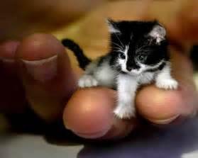 tiny cats tiny kitten 1funny