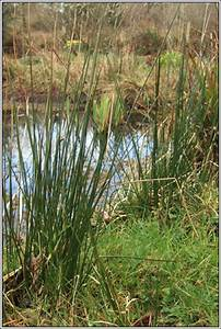 Irish Rushes And Sedges