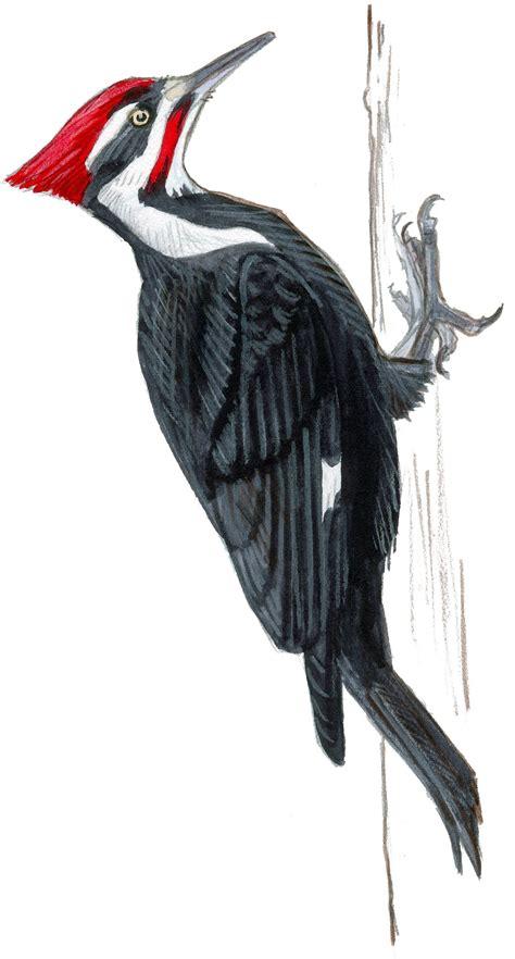 pileated woodpecker john muir laws