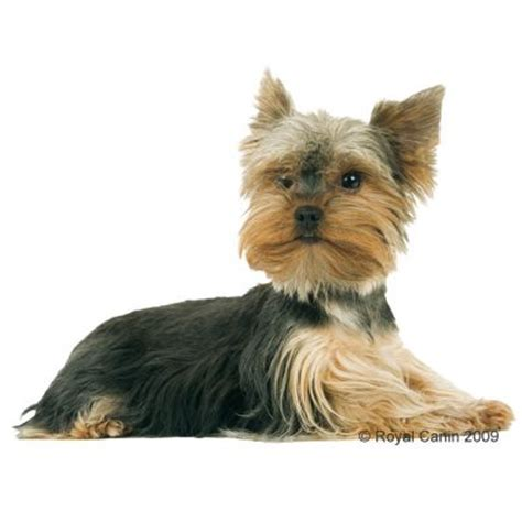 royal canin breed yorkshire terrier junior croquettes