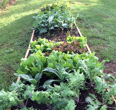 vegetable gardening blogs my fall vegetable garden tallahassee community blogs