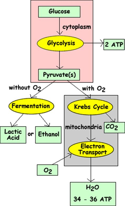 russell 39 s blog anaerobic respiration diagram