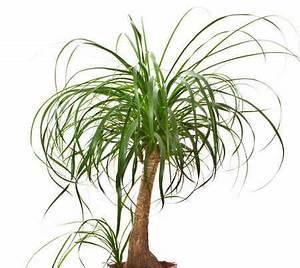Bouture Plante Verte : beaucarnea pied d 39 l phant culture et conseils d 39 entretien plantes non toxiques ponytail ~ Melissatoandfro.com Idées de Décoration