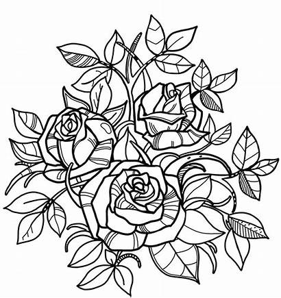 Coloring Roses Rose Pages Printable Flower Flowers