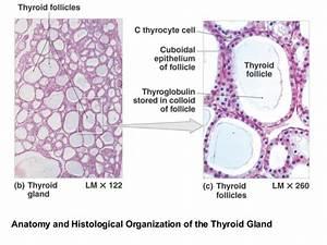 18  Endocrine System