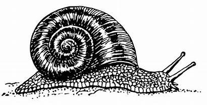 Snail Clipart Drawing Vector Clip Grapevine Mollusca