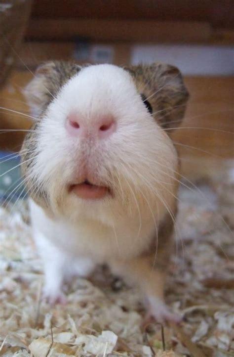 die etwas andere meerschweinchenseite gesundheits check
