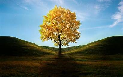 Trees Solitary Put Tree Yellow Wallpapers Australia