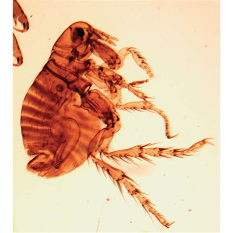 scabies mite sarcoptes adults radula snail microscope isolated animals biology
