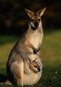 Biology Snippets: How Big is a Marsupial Pouch?