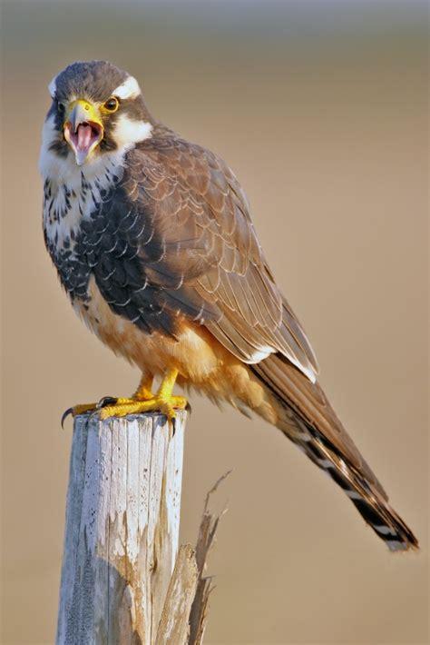 falconidae falcons caracaras photo gallery wildlife