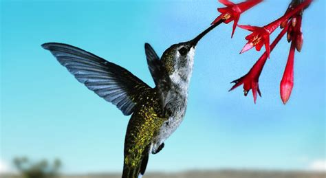 hummingbirds eat