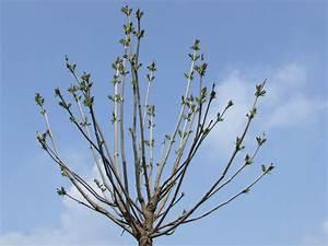 Kugel Trompetenbaum Schneiden : wie soll kann ich meinen kugeltrompetenbaum schneiden ~ Lizthompson.info Haus und Dekorationen