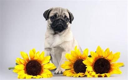Pug Sunflowers Pugs Puppy Wallpapers Dogs Sunflower
