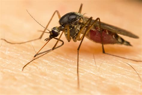 lemon and mosquitoes 5 simple home remedies for mosquito bites best scabies treatment dr scabies home treatment