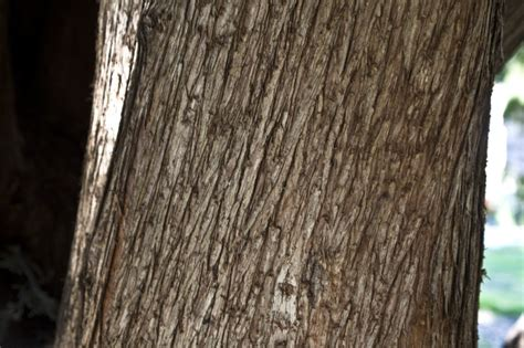 cypress tree bark bark of a mourning cypress tree with many striations clippix etc educational photos for