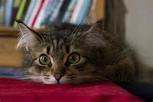 about cats 5 things to about siberian cats petful