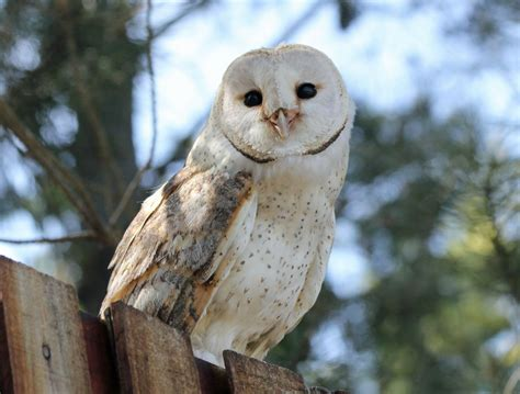 Barn Owl  Beauty Of Bird