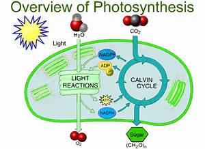 Overview Of Photosynthesis