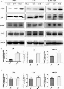Mhbs Stimulates The Phosphorylation Of P38 But Not Erk1  2