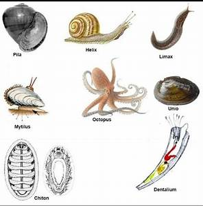 What are some examples of phylum mollusca? - Quora  Phylum
