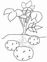Coloring Kindergarten Potato Worksheets Sketchite Printables Preschool Vegetable Veg Poland Planting Children Crafts Toddler Sketch Fruit sketch template