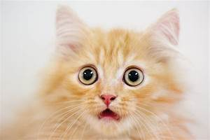Surprised Cat Images - Reverse Search