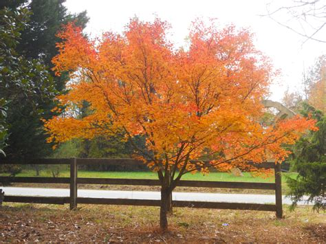 orange japanese maple japanese maple orange dream architectural trees