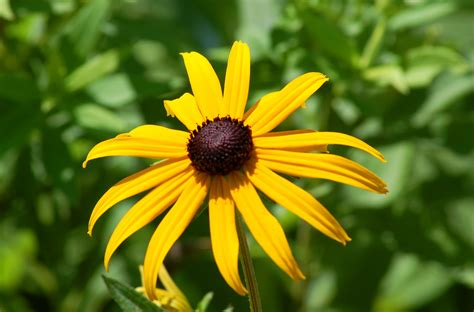 black eyed susan black eyed susans growing rudbeckia flowers