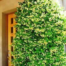 Immergrüne Kletterpflanze Winterhart : immergr ne kletterpflanzen g nstig kaufen ebay ~ Yasmunasinghe.com Haus und Dekorationen