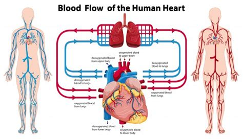 diagram showing blood flow   human heart vector